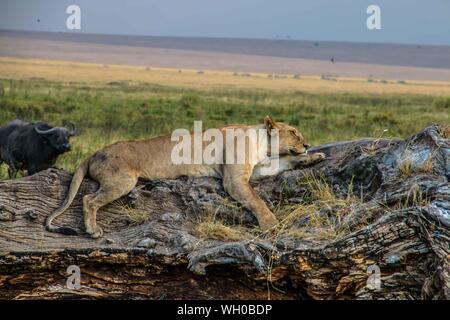 Lion Sleeping On Tree Against Sky - Stock Photo