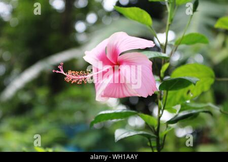 Pink Hibiscus On The Garden - Stock Photo