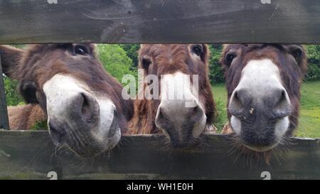 Close-up Portrait Of Donkeys - Stock Photo