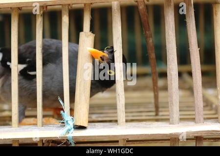 Myna Bird Peeping From Inside The cage - Stock Photo