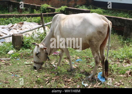 Domestic Cow In the field