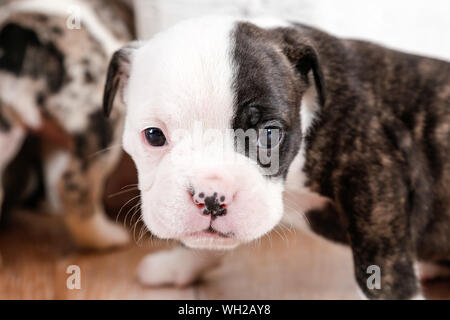 Close-up Portrait Of English Bulldog Puppy On Hardwood Floor - Stock Photo