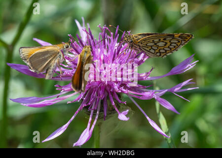 Close-up Of Butterflies On Purple Thistle - Stock Photo