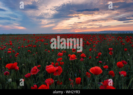 Poppies Growing In Field Against Sky During Sunset - Stock Photo