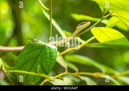 Green rainforest snake in Yanoda park next to Sanya, Hainan, China