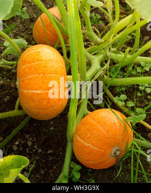Pumpkin plants with rich harvest on a field ready to be harvested. Big orange pumpkins growing in the garden. Autumn. Top view. - Stock Photo