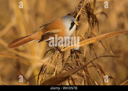 Close-up Of Bearded Reedling Perching Plant - Stock Photo
