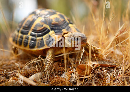 Hermann tortoise turtle d'hermann testudo hermanni isolated white background studio lighting profile view side view entire full whole - Stock Photo
