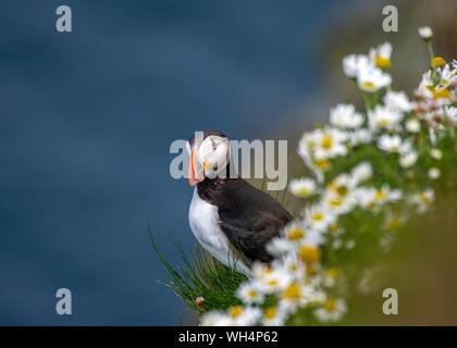 Puffin (Fratercula arctica) amongst sea mayweed (Tripleurospermum maritimum), Sumburgh Head, Shetland - Stock Photo