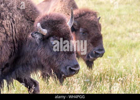 Closeup of the face of a bison in Custer State Park, South Dakota - Stock Photo