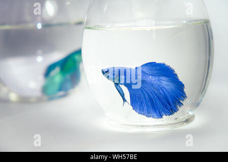 Close-up Of Siamese Fighting Fish In Fishbowls Against White Background - Stock Photo