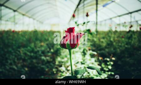 Close-up Of Red Rose In Greenhouse - Stock Photo