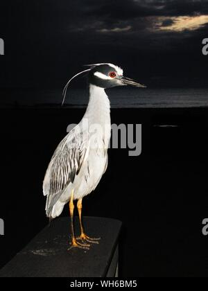 Close-up Of Black Crowned Night Heron At Beach Against Cloudy Sky During Night - Stock Photo
