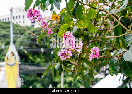 Blooming pink Lagerstroemia, or crapemyrtle tree in a park in Bangkok, Thailand. - Stock Photo