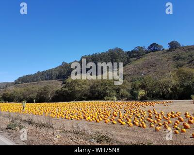 Orange Pumpkins On Field Against Clear Blue Sky During Sunny Day - Stock Photo