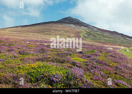 Yr Eifl is on the Llŷn Peninsula in North Wales. It actually has three summits known as the Rivals. Here seen with heather and gorse in full bloom. - Stock Photo