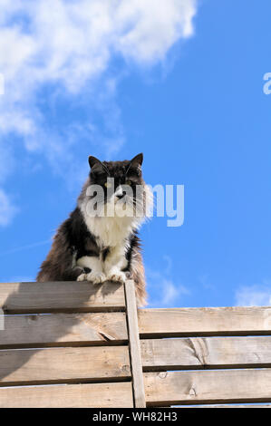 Long haired domestic moggy cat sitting on a fence against blue sky, England, UK - Stock Photo