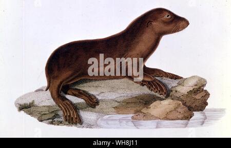 Baby Australian sea lion (Neophoca cinerea). From Darwin and the Beagle by Alan Moorhead, page 253. - Stock Photo