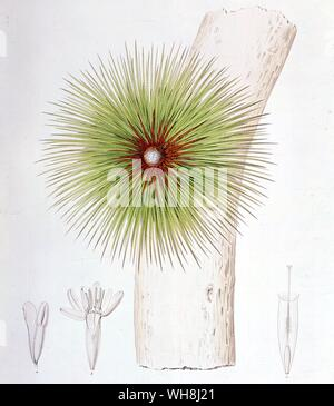 A bromelia found in the Andes (Bromelia bicolor) from Darwin and the Beagle by Alan Moorhead, page 149. - Stock Photo