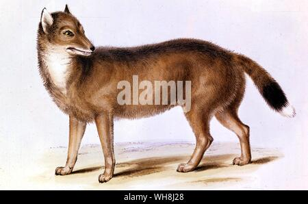 The Falkland fox (Canis antarctius). From Darwin and the Beagle by Alan Moorhead, page 149. - Stock Photo