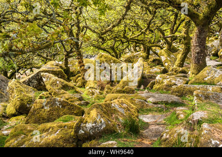 Sessile oaks and moss in Wistman's Wood, Dartmoor, Devon, England, United Kingdom, Europe - Stock Photo