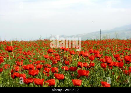 Red Poppies Growing In Field Against Sky - Stock Photo