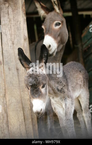 Donkey And Foal Standing In Barn - Stock Photo