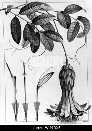 Mutisa grandiflora from Plantes equinoxiales by Humboldt and Bonpland, and Don Jose Celestino Mutis, for whom the genus was named - Stock Photo