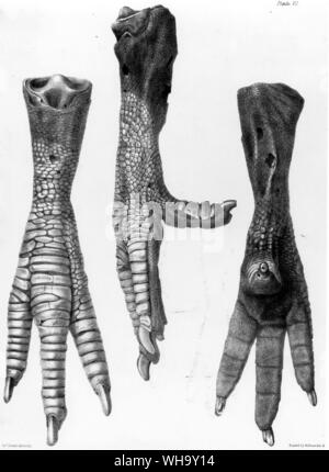 Side and back views of the Dodo foot preserved in the British Museum (Natura History).  Lithograph from H.E. Strickland and A.G. Melville's The Dodo a - Stock Photo