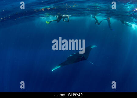Snorkellers with an oceanic manta ray (Manta birostris) feeding near the surface, Honda Bay, Palawan, The Philippines, Southeast Asia, Asia - Stock Photo