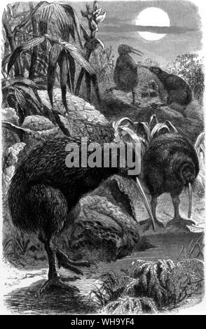 Kiwis.  Engraving from Cassell's Natural History (London, 1889) - Stock Photo