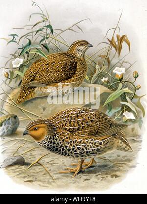 New Zealand Quail, Chromolithograph after a painting by J.G. Keulemans from W.L. Buller's History of the Birds of New Zealand, Vol. 2 (London, 1888), Pl.23. - Length of bird 19cm (7.5in) - Stock Photo