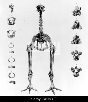 Skeleton of a moa.  Lithograph by James Erxleben from the Transactions of the Zoological Society of London, Vol. 11 (1883) - Stock Photo