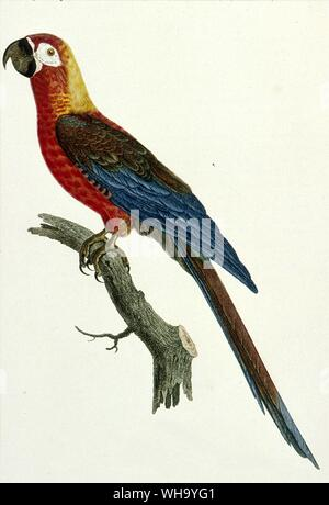 Cuban Red Macaw.  Coloured engraving by Jacques Barraband from F. Levaillant's Histoire Naturelle des Perroquets, Vol. 1 (Paris, 1801-5), Pl.5. - Leng - Stock Photo