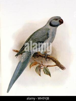 Newton's Parakeet. Chromolithograph after a painting by J.G. Keulemans from W. Rothschild's Extinct Birds (London, 1907), Pl.19. Courtesy of The Hon. Miriam Rothschild - Length of bird 40cm (16in) - Stock Photo