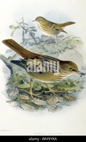 Kittlitz's Thrush.  Hand-coloured lithograph by J.G. Keulemans from H. Seebohm's Monograph of the Turdidae (London, 1902), Pl.33 - Length of bird 23cm - Stock Photo