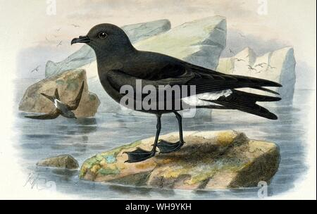 Guadalupe Storm Petrel. Hand-coloured lithograph by J.G. Keulemans from F. du C. Godman's Monograph of the Petrels (London, 1907-10), Pl.5A. Length of bird 21cm (8.25in). - Stock Photo