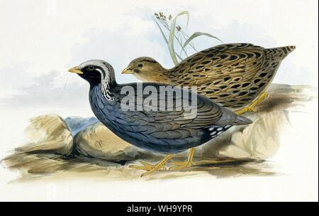 Himalayan Mountain Quail.  Hand-coloured lithograph by J.W. Moore from J.E/ Gray's Gleanings from the menagerie and Aviary at Knowsley Hall, Vol. 1 (1 - Stock Photo