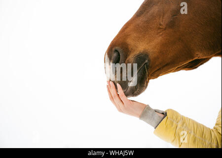 Cropped Hand Of Woman Touching Horse Against White Background - Stock Photo