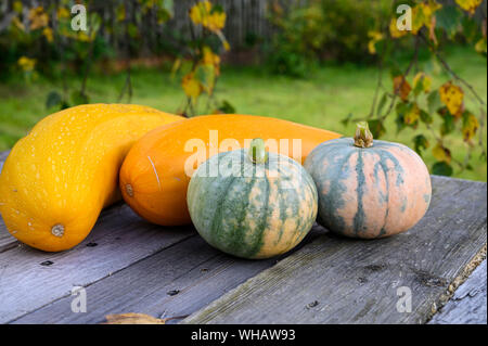 Autumn harvest of marble pumpkins and yellow zucchini on the table in the garden. - Stock Photo
