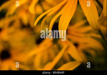 Truly amazing! Enlarge the dew droplet and the whole bed of Black Eyed Susan flowers can be seen as well as the blue sky horizon inside one droplet, - Stock Photo