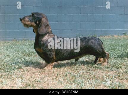 Wire haired dachshund is a short-legged, elongated dog breed of the hound family. CH. Westphal's Shillalah - Stock Photo