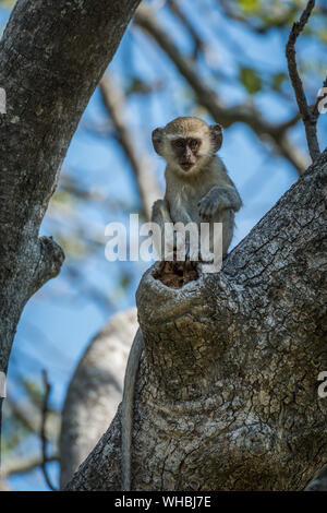 Low Angle View Of Vervet Monkey Sitting On Tree - Stock Photo