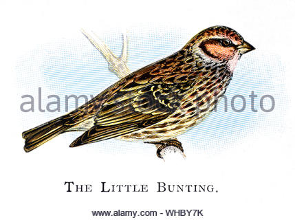 Little Bunting (Emberiza pusilla), vintage illustration published in 1898 - Stock Photo