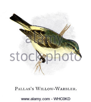 Pallas's Willow Warbler (Phylloscopus proregulus), vintage illustration published in 1898 - Stock Photo