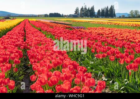 Bright multi-colored tulip field landscape.