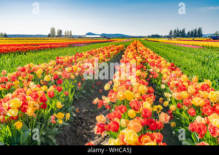 Bright multi-colored tulip field, with blue sky on sunny day. - Stock Photo