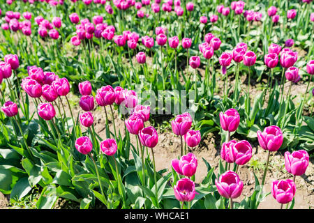 Bright pink tulips growing in rows.