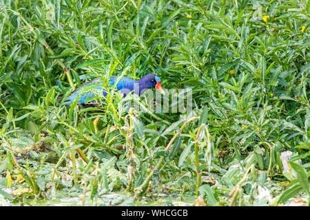 Purple Gallinule Foraging - Stock Photo