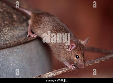 House Mouse (mus musculus) male - Stock Photo